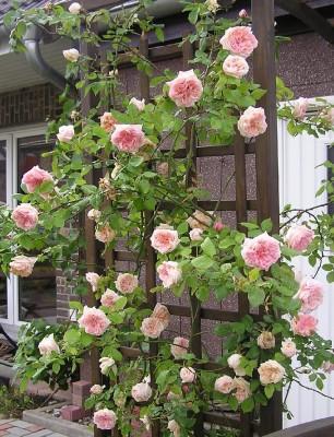 rose rampicanti  Fasoli & Fontana Assicurazioni